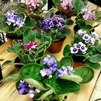 Six African Violet Plants- World's Best...