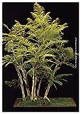 TROPICA - Bonsai -Palisanderbaum (Jacaranda mimosafolia) - 50 Samen