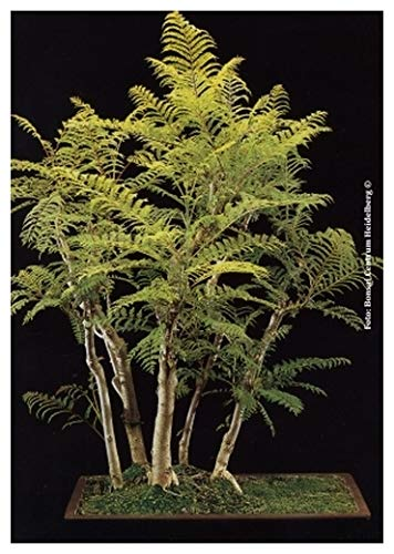 TROPICA - Flamboyant bleu (Jacaranda mimosafolia) - 50 graines- Bonsai