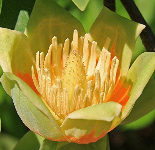 Tulpenbaum Liriodendron tulipifera 20 Samen