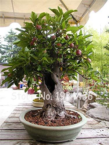 Bloom Green Co. Promotion! 20 Pcs Rare Olive Bonsaï (Olea Europaea) Mini Arbre des plantes pour la maison Bricolage, Exotique Pots de fleurs Pots: 3
