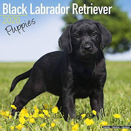 Black Labrador Retriever Puppies Calendar 2020