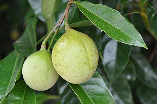 Portal Cool 1 Muskatnuss-Baum-Samen Muskatnussbaum Pala Mace Obst Nuss Kürbiskuchen Gewürz