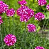 100 piezas de color púrpura semillas Armeria marítima - de segunda mano mar, semillas de pastos marinos, semillas de flores bonsai, macetas para el jardín de 3
