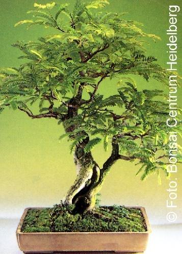 Tropica - Bonsai - Tamarinde (Tamarindus indica) - 4 Samen