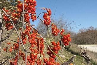 American Bittersweet, Celastrus scandens, Vine Seeds (60 Seeds)