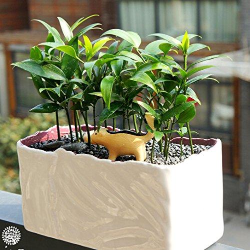 5pcs Arbre à feuilles persistantes Nageia Seeds, famille des plantes ornementales vert