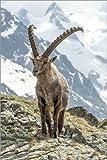 Poster 40 x 60 cm: Alpen-Steinbock von Olaf Protze -