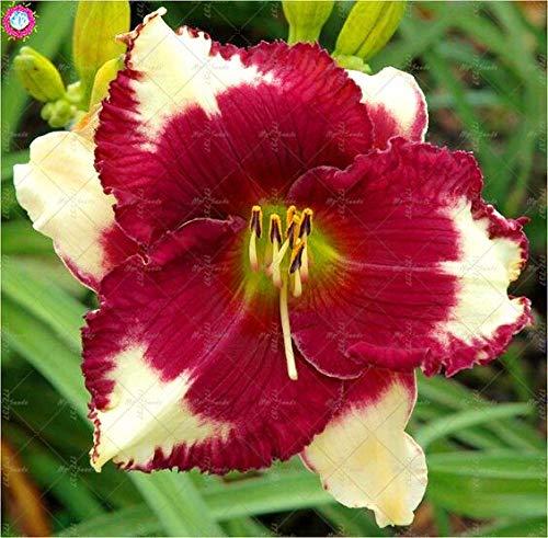 100 Pcs Taglilie Blumen Samen Farbe Hemerocallis Samen Taglilie Samen Indoor-Samen Garten: 13