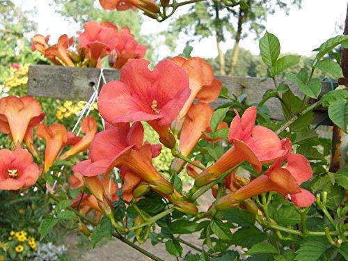 Große Kletter-Trompetenblume 'Madame Galen' Campsis tagliabuana im Topf gewachsen (40-60cm)