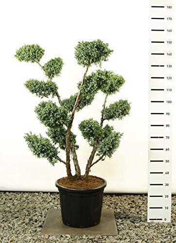 Modernes Formgehölz - Blauer Strauchwacholder - Juniperus chinensis Blue Alps MULTIPLATEAU+ - Gesamthöhe 100-125 cm - Topf 20 Ltr.