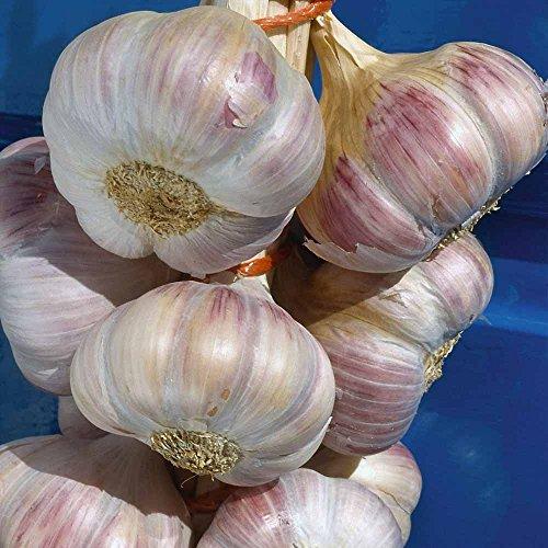Live Seeds - Knoblauch 30 Nelken, Samen 'Lautrec Wight' winterharte Zwiebel (Pflanzung jetzt) ab 3 Zwiebeln