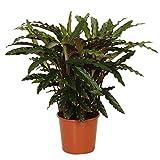 calathea rufibarba ornata|pianta da appartamento tropicale e purificante |altezza 60-70 cm |vaso Ø 17cm