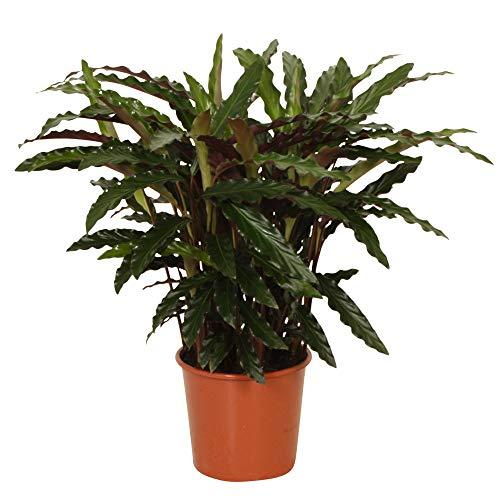 Calathea rufibarba Ornata Pianta da appartamento tropicale e purificante  Altezza 60-70 cm  Vaso Ø 17cm