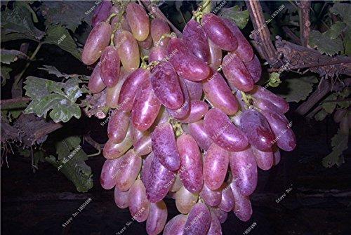 Pépins de raisin Gold Finger vigne vivaces herbes plantes succulentes, Juicy Fruit non-OGM légumes semences fournitures de jardinage 50 Pcs 19