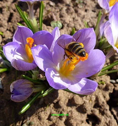 210 Blumenzwiebeln Mischung Krokus Winterling Scilla Augen und Bienenweide