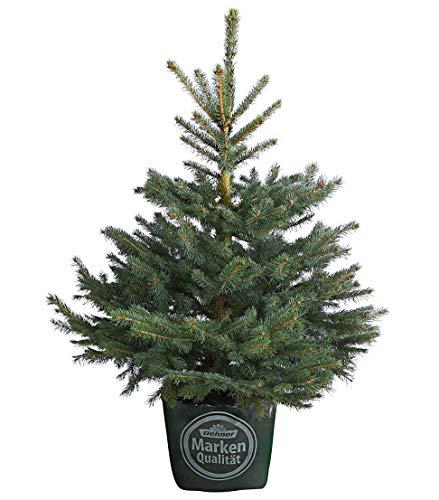Preisvergleich Produktbild Dehner Stech-Fichte,  im Topf gewachsen,  dichte Zweige,  ca. 80-100 cm,  7.5 l Topf,  Weihnachtsbaum