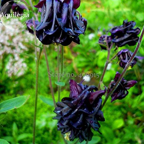 Rare Aquilegia Jardin noir Columbine vivace Fleurs, 50 graines, très belles fleurs e3596