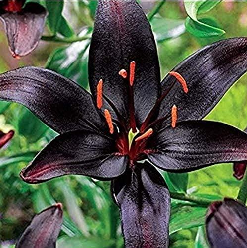 2 Lily Zwiebeln Kostbare Sorte Angenehmes Aroma Mehrjähriges Erbstück Hofterrasse Im Freien Natürliches Wachstum Im Freien Pflanzen