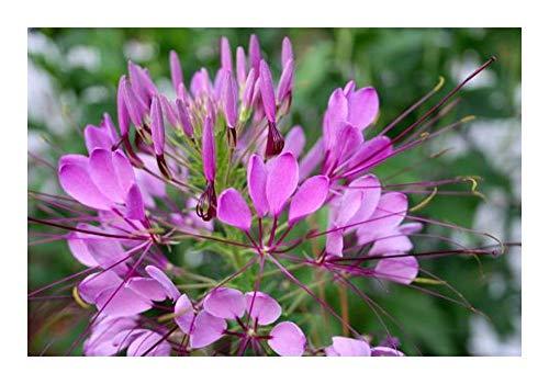 Cleome hassleriana Rose Queen - Fleur Araignée - 10 graines