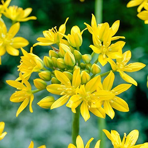 50x Allium moly | Zierlauch zwiebeln | Gelbe Blüten | Mehrjährige blühende Pflanzen | Ø 4-5 cm