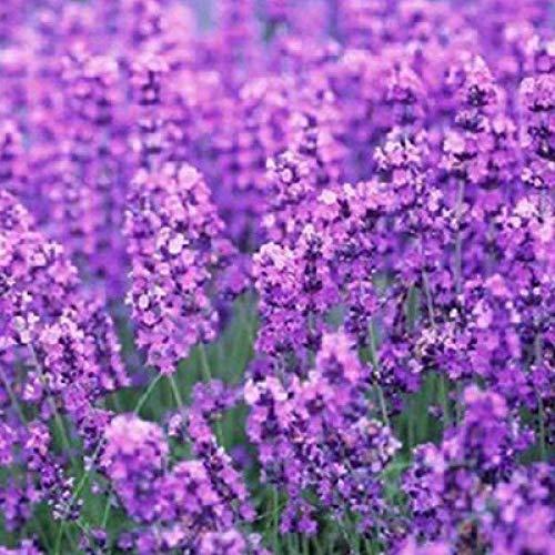 Aerlan Samen saatgut winterhart mehrjährig,Bunte Blumen,Lavendel Blumen und Pflanzen 100 Kapseln-10 Packungen_F