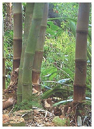 TROPICA - Bambù gigante (Dendrocalamus gigantea) - 50 Semi- Erbe/Bamboo