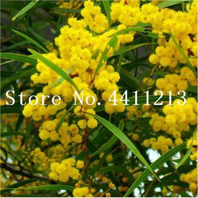 prime vista 20 stücke Goldene Mimose pflanzen Seltene Schöne Akazie Gelb Wattle Tree Pflanzen Hausgarten Blume pflanzen Edlen Bonsai Geschenk bonsai: 11