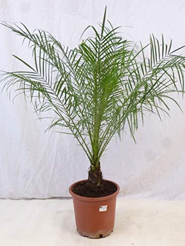 [Palmenlager] Phoenix roebelenii Zwergdattelpalme 90 cm/Stamm 10-20 cm/Zimmerpalme