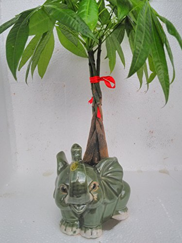 Money Tree Pachira Bonsai Fluffy Elephant Indoor/outdoor 4'' Pot Unique From Jmbamboo