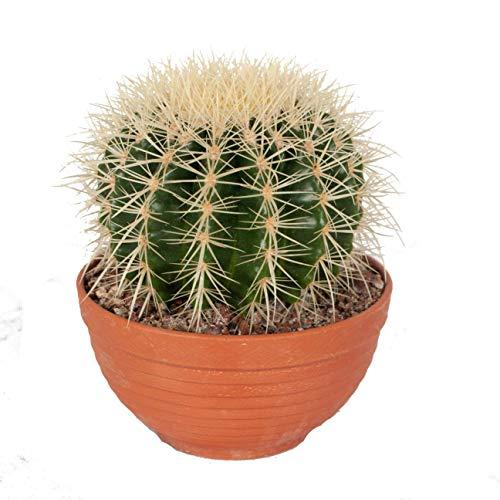 Cactus y suculento de Botanicly – Bola de oro en bol de terracota como un conjunto – Altura: 17 cm – Echinocactus Grusonii