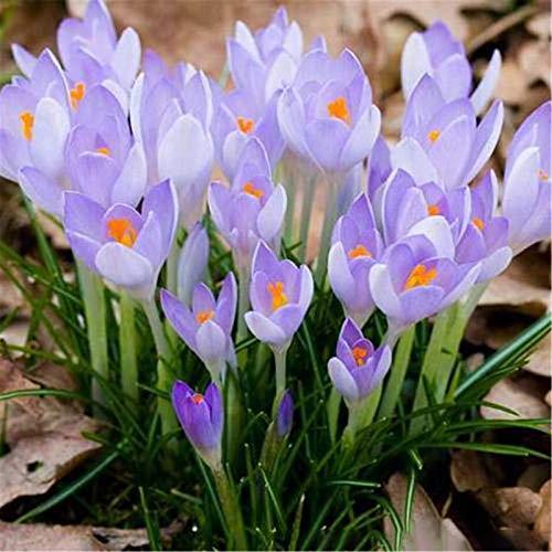 Krokus zwiebeln,Starke Zwiebeln Zierbalkon Blumen Bonsai SchöNe Exoten Hausgarten Magische Pflanzen-5zwiebeln