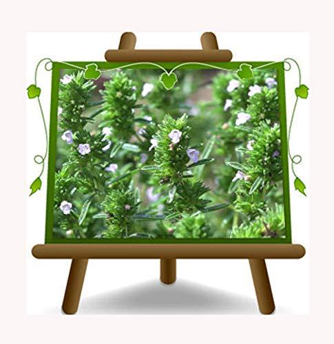 Thymus Vulgaris - Thymian aromatische Pflanze auf Topf 14