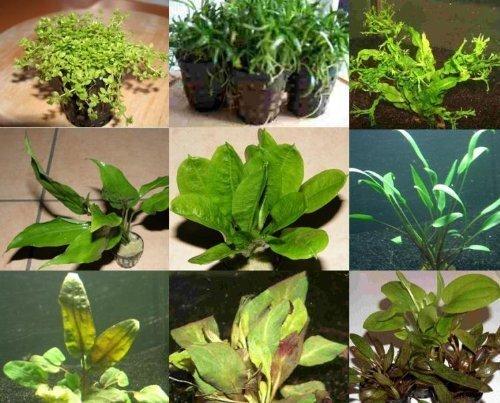 10 Töpfe 5 Sorten Aquarienpflanzen, Wasserpflanzen