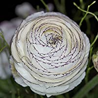 完璧な切り花,多年生草本の花,適応性強い,お手入れが簡単,珍しい植物,ラナンキュラス 球根,カラフルでカラフル,カラフルな開花球根,観賞用花-10球根