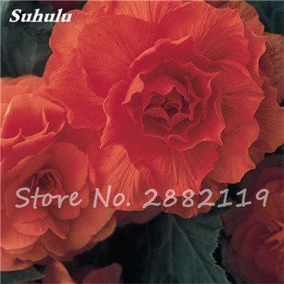 New Balkon Anlage 20 PC bunte Begonien-Blumen-Samen Seltene Rose Rieger Begonia Blume Begonia Indoor Bonsai Pflanzen für Garten 5