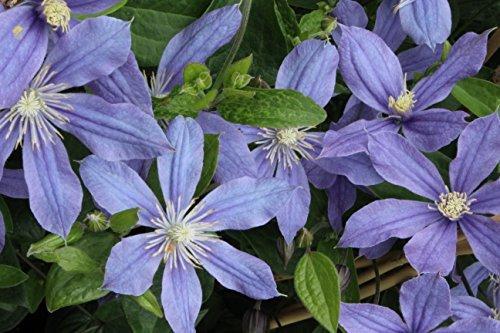 Krautige Garten-Waldrebe Clematis integrifolia 'Arabella' - bis150cm (60-100cm)