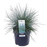 Gras von Botanicly – Blauschwingel – Höhe: 30 cm – Festuca glauca Azura Blue