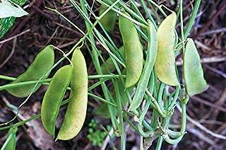 Jackson Wonder Lima Bush Beans, 50 Heirloom Seeds Per Packet, Non GMO Seeds