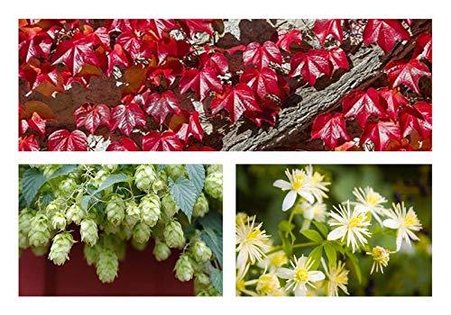 """Kletterpflanzen- Sortiment 6 Töpfe""""Wunderschöne Rankpflanzen für Garten und Balkon"""""""