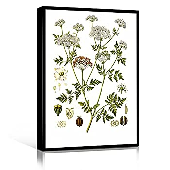 PLANT CANVAS WALL ART plant pictures wall art for bathroom plant canvas wall art framed Poison Hemlock Botanical Print Poison Hemlock Botanical Art 12  x18   Framed Modern Canvas Wall Art