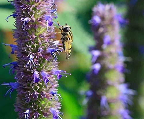 vegherb 100 Seeds - Koreanisch Mint Licorice - Agastache Rugosa Erbstück Nicht-GVO-Tee Herb Bees