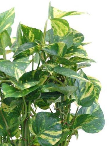 観葉植物の専門店彩植健美『ポトス(オウゴンカズラ)タワー仕立て8号鉢(鉢カバー付)』