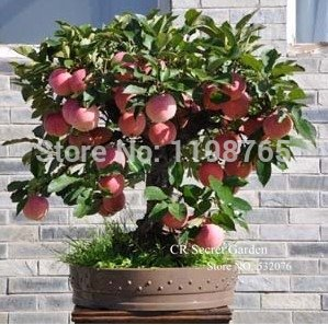 Produit d'essai Bonsai Apple Tree Seeds 50 Pcs graines de pomme jardin de bonsaïs de fruits dans des pots de fleurs aux planteurs 49%