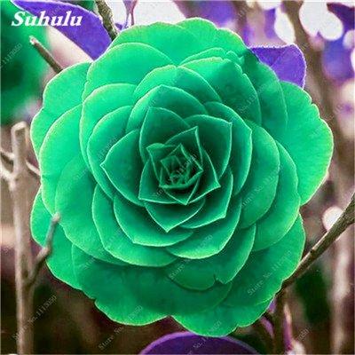 Grosses soldes! 10 Pcs Camellia Graines, Graines Bonsai Fleur, couleur rare, bonsaïs d'intérieur / extérieur Plante en pot pour jardin Facile à cultiver 11