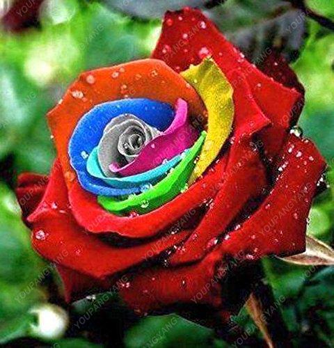 100pcs 20 sortes de graines Rose So Black Rose Charme Bonsai Graines de fleurs vivaces rares fleurs des plantes pour jardin Bourgogne