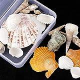 MMYAN Nutrual Shell Accesorios DIY Conchas Artesanía Spplies Conchas Joyería Set Conchas Ocean Beach Seashells para hacer joyas Decoraciones