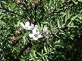 Asklepios-seeds© - 5000 Semillas de Leptospermum...