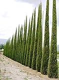 100 Semillas Ciprés Mediterráneo (Cupressus Sempervirens Pyramidalis)