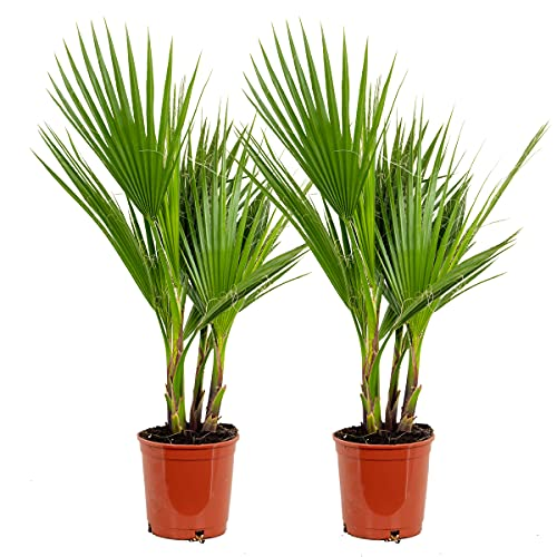Washingtonia 'Robusta' | Mexikanische Washingtonpalme pro 2 Stück - Freilandpflanze im Anzuchttopf ⌀17 cm - ↕65-75 cm